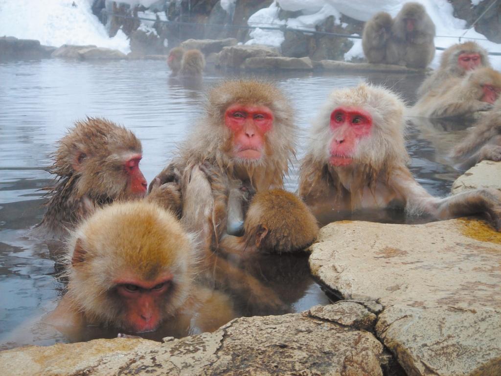 [No. 1766] 地獄谷野猿公苑 スノーモンキー 雪 温泉(山ノ内町)