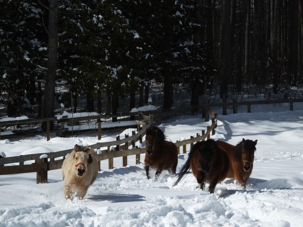 木曽馬の里で雪原を木曽馬が走る様子